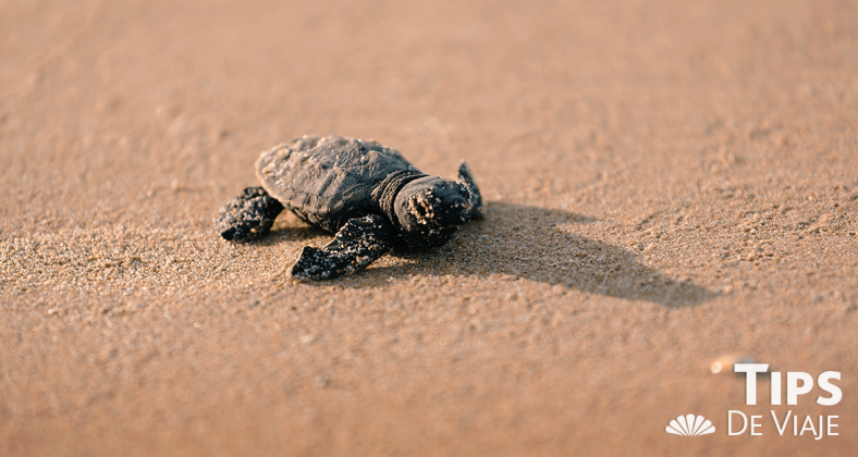 Experimenta en Crown Paradise la liberación de tortugas marinas