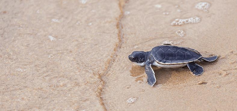 Vive la experiencia de liberar tortugas en Puerto Vallarta